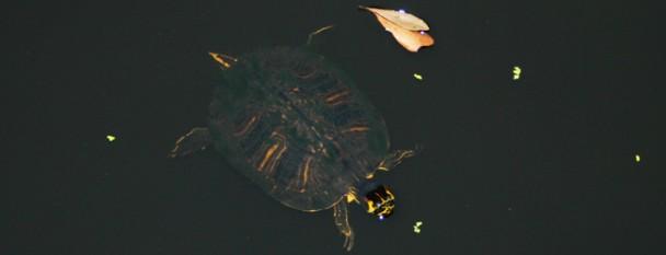 turtleathiltonhead