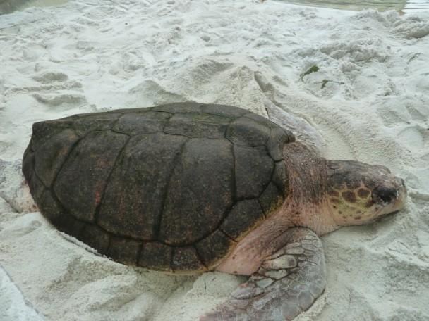 tartarugamarinhacomcercade2metrosnoprojetotamar