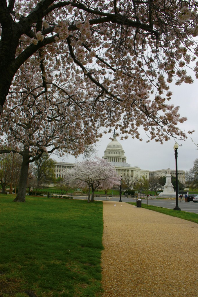 Cherry_Blossoms_Capitol