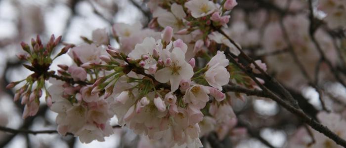 Cherry_Blossoms_em_DC