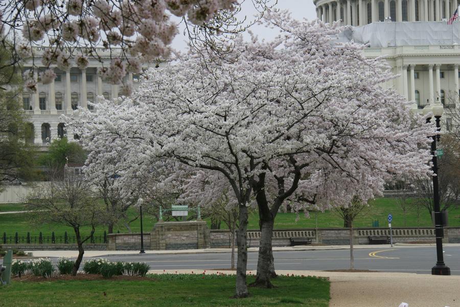 Cherry_Blossoms_tree