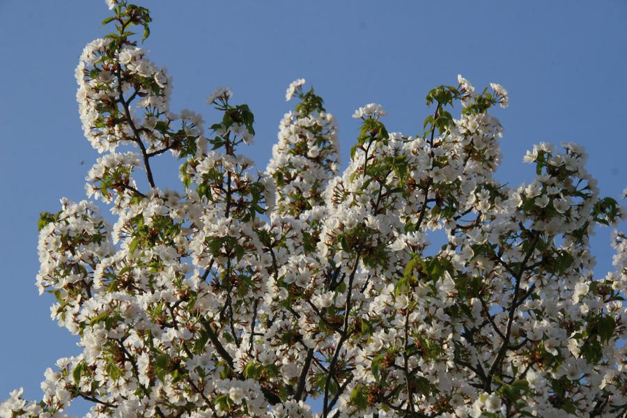 Cherry Blossoms mais branquinhas