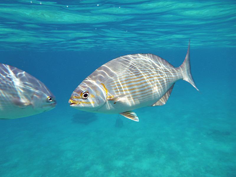 peixe-cozumel