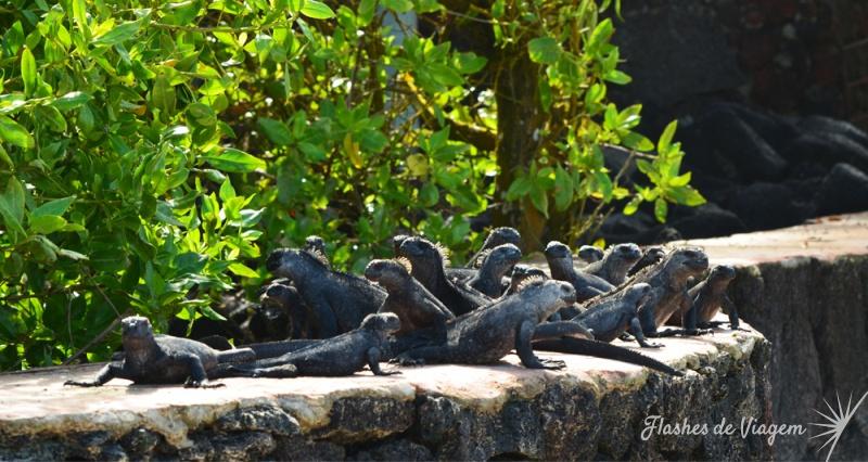 Grupo numeroso de iguanas descansa na mureta do hotel