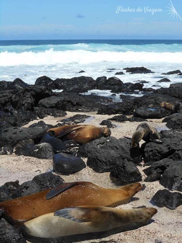 Leoes marinhos descansam na Loberia, na Ilha San Cristobal