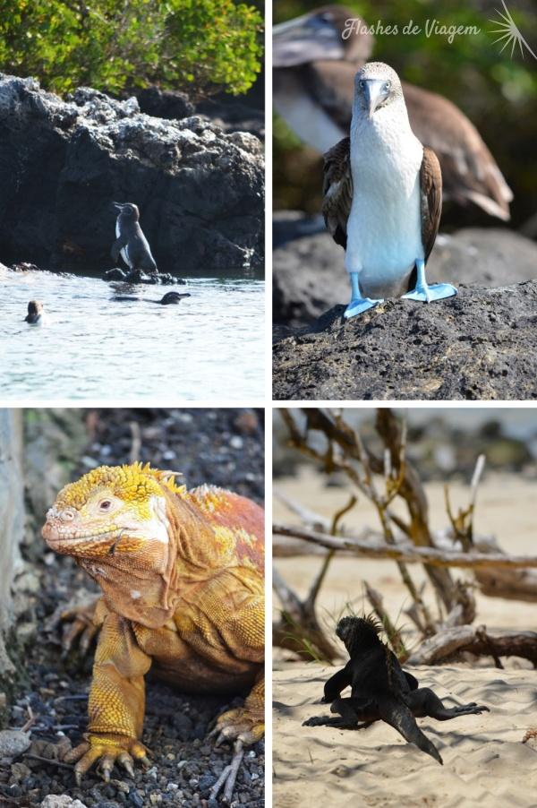 Nativos das ilhas - pinguim de Galapagos (o menor do mundo), piqueros de patas azuis, iguana terrestre e iguana marinha