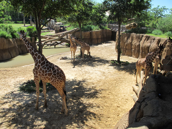 Girafas no Dallas Zoo