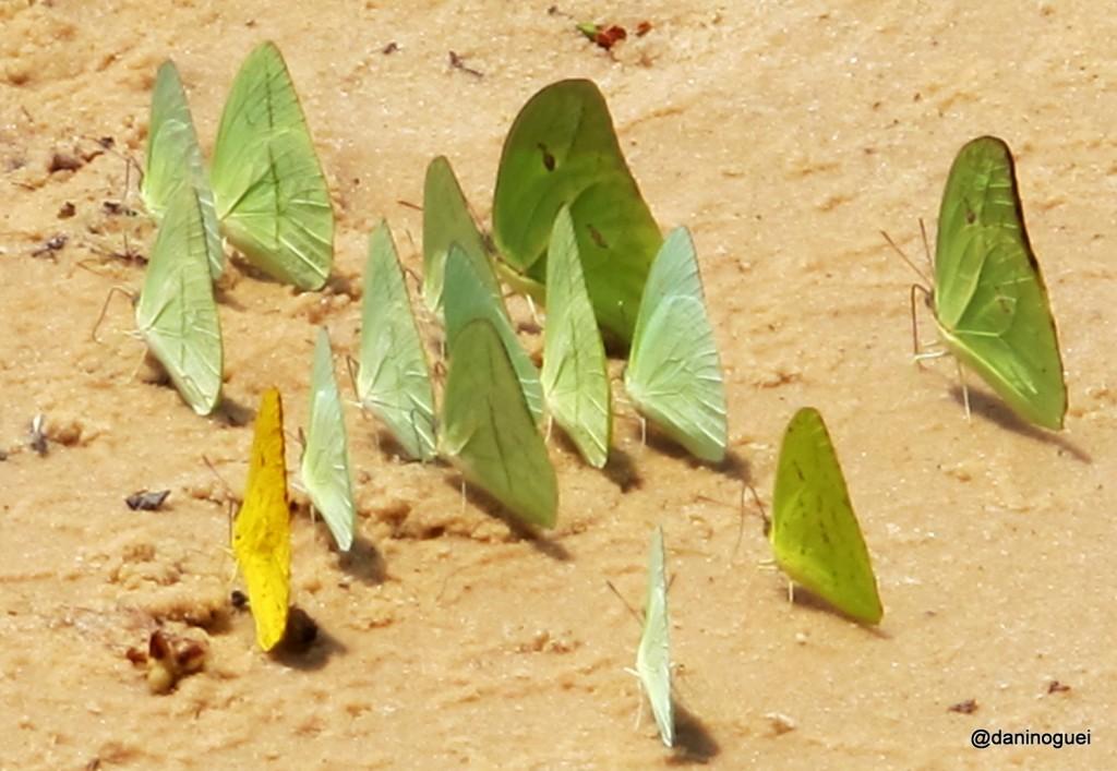 Contato com a natureza - borboletas em Ponta de Pedras