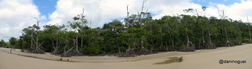 Enormes mangueiros da Praia Goiabal