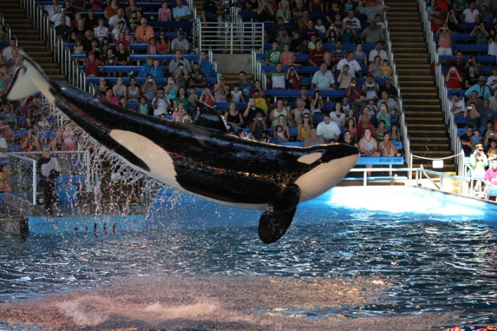 Show da Shamu no Sea World em San Antonio