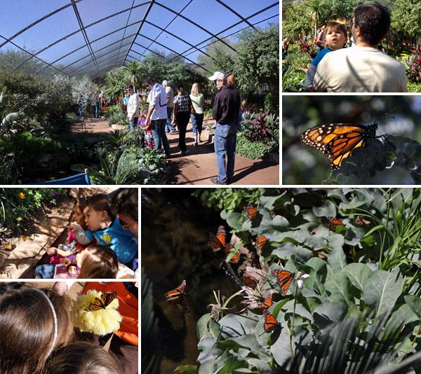 borboletas no desert botanical gardens