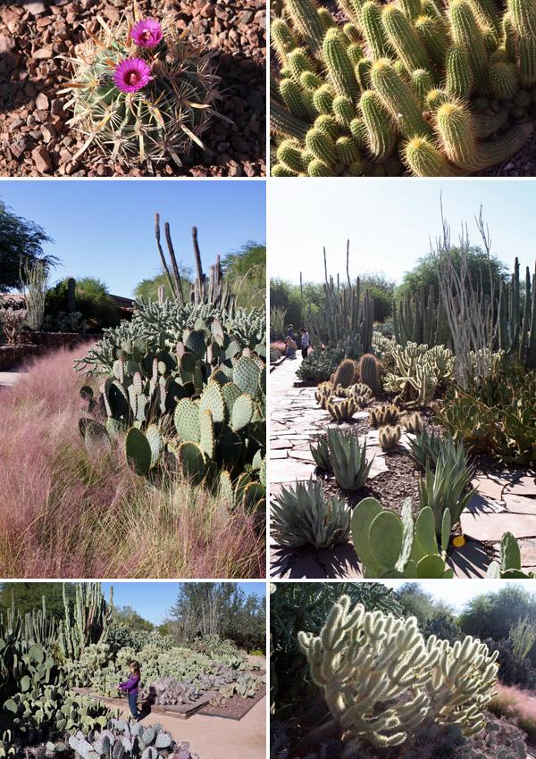 cactos no desert botanical garden
