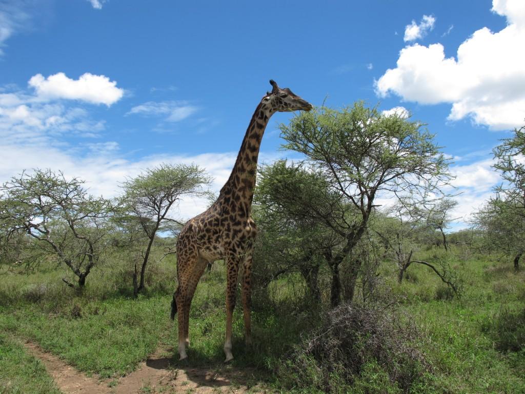 girafaSerengeti