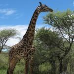 Um Safari na Tanzânia