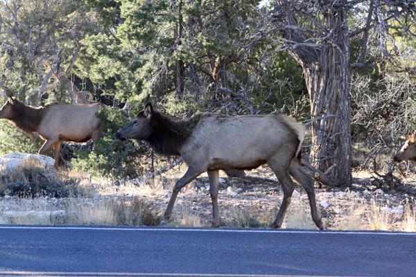 elks no grand canyon