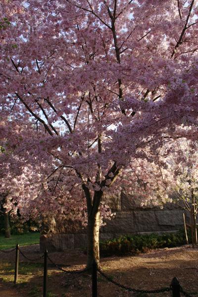 A cerejeira no pico da florada