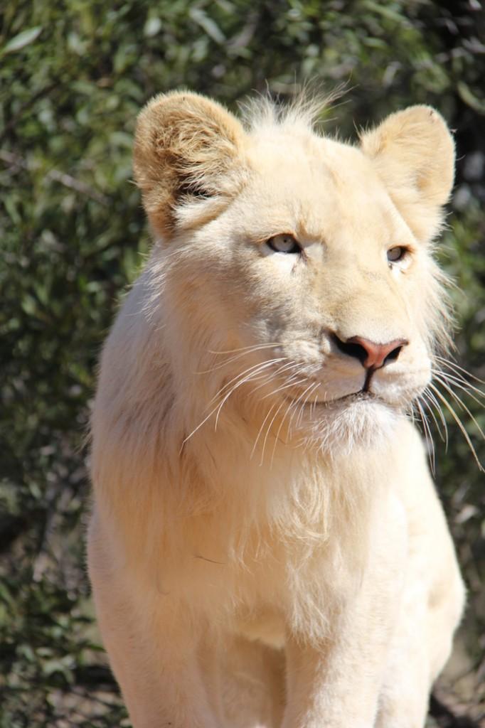 Conheça Michael, um dos leões de Ukutula
