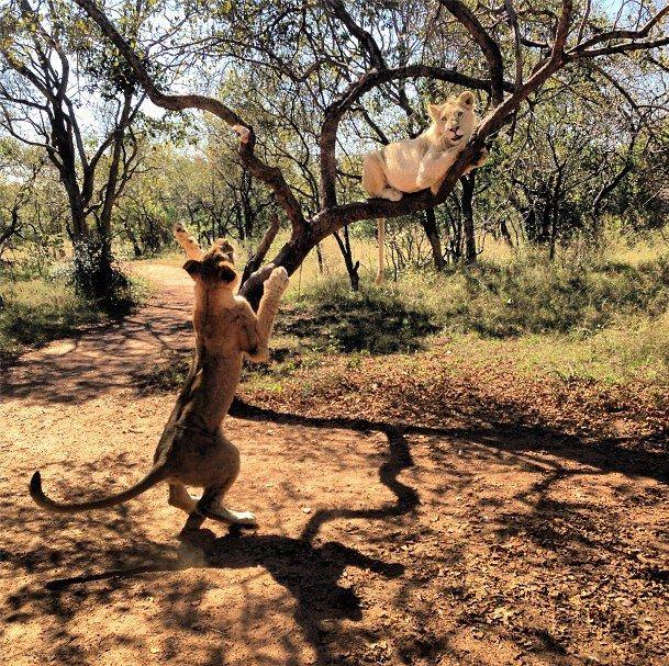 Os leões brincando