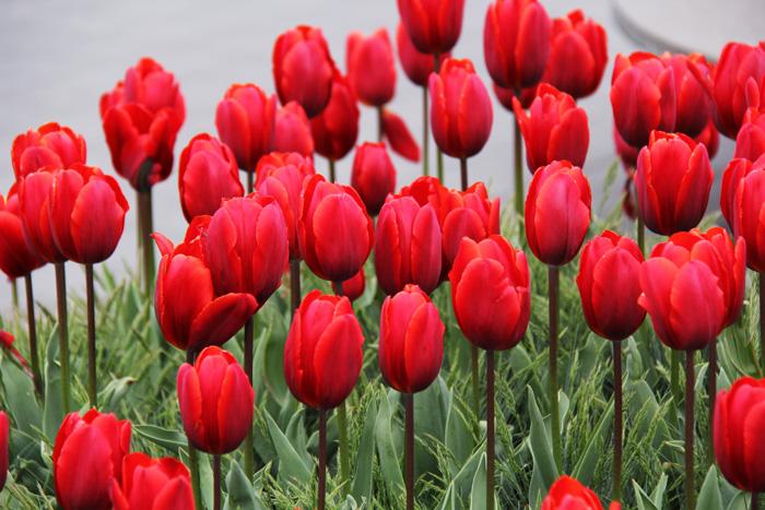 Direto da holanda tulipas moinhos amsterdam e rotterdam - Tulipas para ventiladores de techo ...