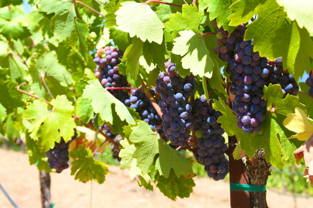 Uvas prontas pra colheita