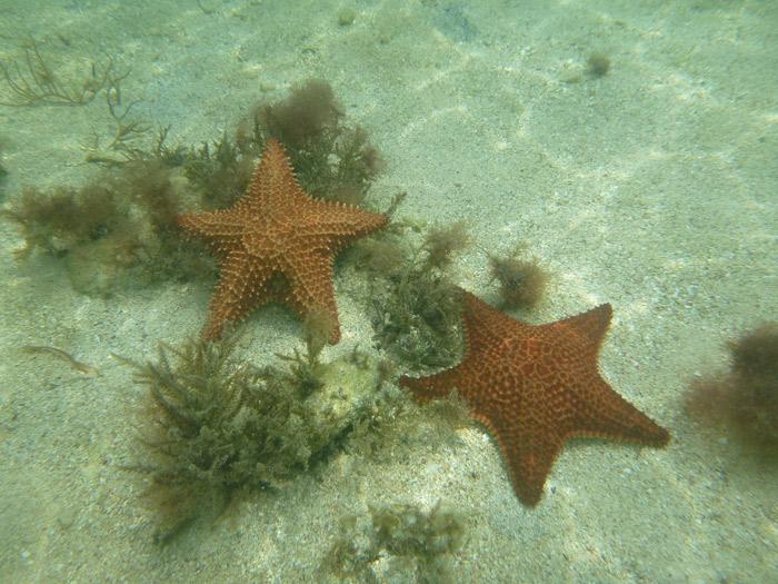 Estrelas do mar são comuns em San Blás