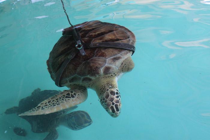Essa tartaruga só tem uma nadadeira e uma prótese para conseguir nadar