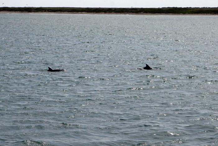 Mais golfinhos na Laguna Madre