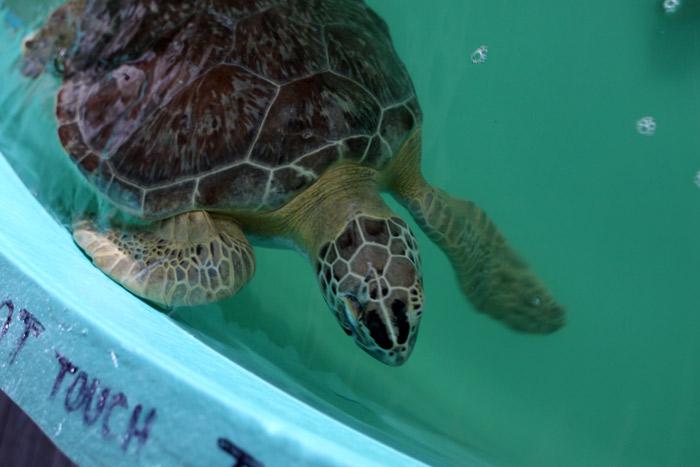 Uma das tartarugas em recuperação