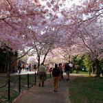 Festival de Cerejeiras ( Cherry Blossoms ) 2015 em Washington DC