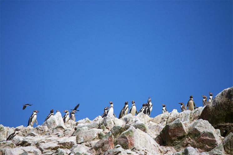 paracas_adv_pinguins
