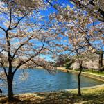 Fotos das Cerejeiras durante o Festival Cherry Blossoms 2016