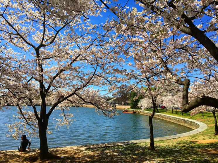 Fotos das Cerejeiras durante o Festival Cherry Blossoms 2016 -