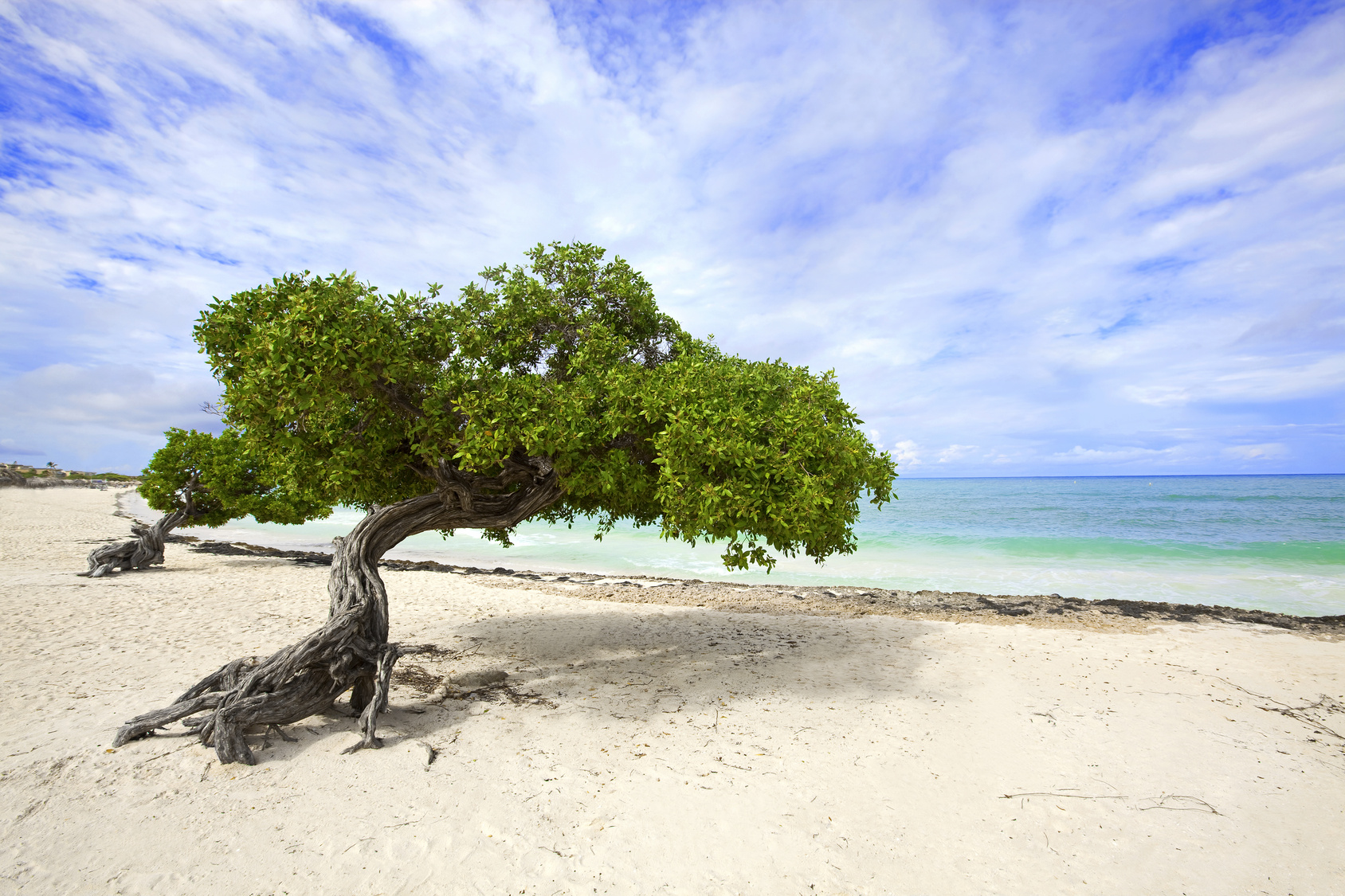 Divi divi tree on Eagle beach, Aruba