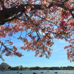 Festival de Cerejeiras (Cherry Blossoms/ Sakura) em Washington DC 2017