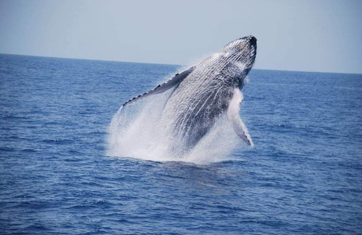 Baleia Jubarte em Porto Seguro Bahia