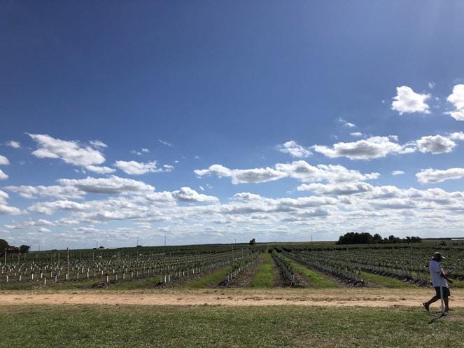 campos de blueberries